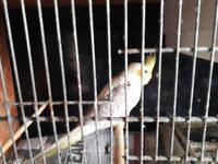 2 female and 1 male cockatiels forsale they are three yesrs old nice wee birds 30 percent tame