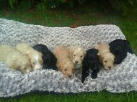Beautiful CockerPoo Puppies