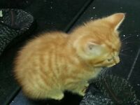 Healthy CUTE FLUFFY 1 ginger female kitten and 1 dark brown kitten