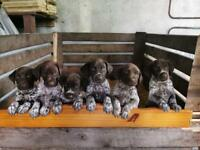 German short haired pointer pups for sale