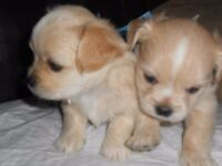 lhasa apso x maltese [ lhatese ] pups for sale