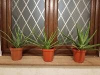 Aloe Vera Barbabensis Miller Plants - Shenfield £10 £15 or £35 - Wonderplant