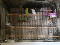 budgies for sale...cage included