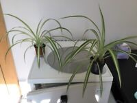 Gorgeous Healthy Spider Plants Large and Small only £1 each Collect London Regent Street W1
