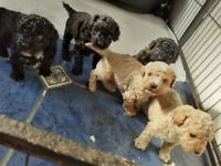 shihpoo pupppies! Price negotiable