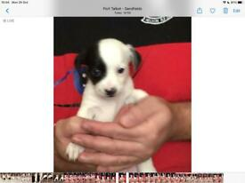 Jack russell cross chihuahua pup