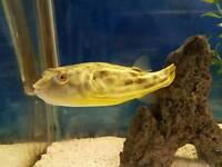 Puffer fish - Fahaka/Nile Puffer
