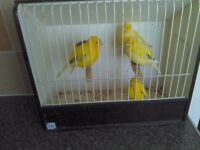 fife canarys show birds 6 males good singers 60 pound the lot no offers
