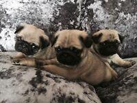 Stunning Quality Pedigre Kc Registered Pug Puppies