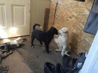 Great natured, well socialized medium sized lab cross puppies.