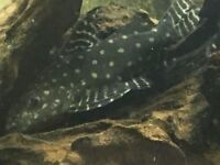 CATFISH 3 OFF SYNODONTIS ANGELICUS RARE TO FIND IN UK(READ ADD FIRST)REDUCED