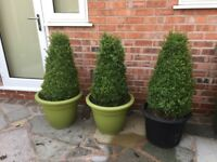 topiary box cones x3 in pots