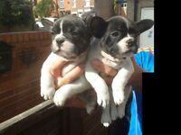 french bull dog pups brindle/ pied
