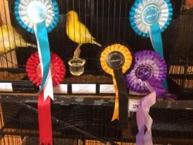 Champion Border Canaries for sale