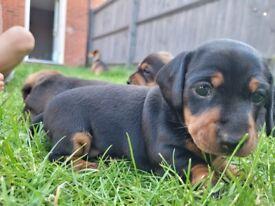 Dachshund puppies.