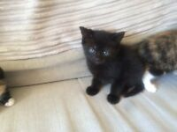 Two kittens for sale one pure black with blue eyes, the othe black and ginger mix