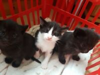 Kittens one male 2 female ready in may