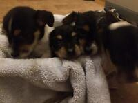 4 gorgeous jack Russell x chihuahua puppies