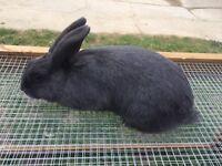 Grey Mini Lop X Rabbit