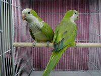 XxX Quakers talking parrot each Bargain [Each] Only £90