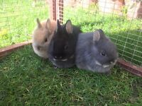 Pure breed Netherland Dwarf Rabbits
