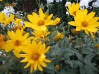 TALL YELLOW LARGE DAISY FLOWER - INDIVIDUALLY ROOTED