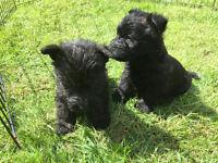 Scottish Terrier (Pedigree) Male Puppy