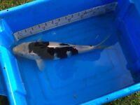 A selection of 20 health koi carp fish