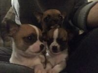 chihuahua tcup puppies