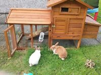 2 lovely male rabbits with hutch