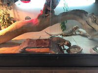 2x 5 year old bearded dragons + full set up