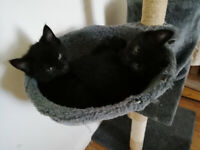 Two Female black Cats (4 months old) - Vaccinated /flea/worm treatment