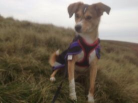 £1000 REWARD - Stolen dog - our special angel, Amber - rescued from Sarajevan streets.