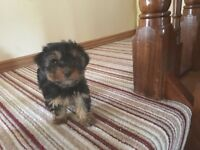 yorkie yorkshire terrier minature