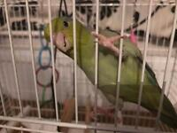 Lovely parrotlet parrot comes with the cage and bits