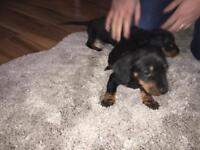 Dachshund puppies 3 left
