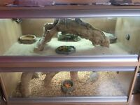 3 bearded dragon for sale and complete vivaruims setup