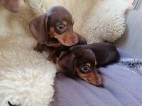 Dachshund puppies miniatures