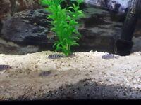Demonsoni juvenile cichlids