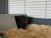 Carlos: Male Guinea Pig and accessories for sale