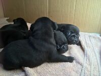Gorgeous chunky KC Pug Puppies for sale! Must see!