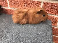 9 week old male Guinea pig with indoor cage