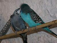 budgies for sale young and old nice colours 01793976407