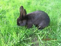 RABBIT FOR SALE FOUR MONTHS OLD LOP CROSSED ENGLISH