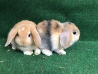 Lovely mini lop bunnies ready now