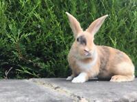 Buck (male) rabbit