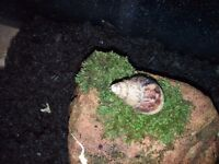 Two african snails for free