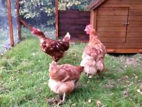 Calling all Chicken, Hen, Poultry Owners - Lets Meet Up!