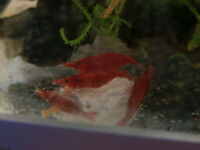 Red Cherry Shrimp - (Neocaridina davidi) - Tropical Fish