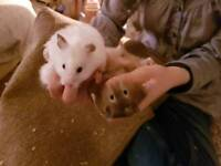 Baby Syrian Hamsters Very Tame